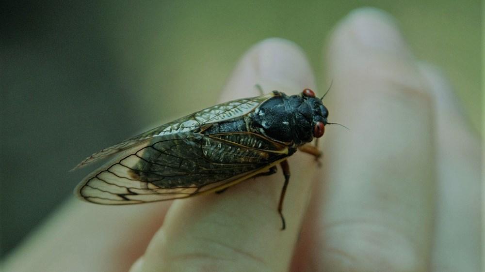 حشرة الزيز غير مؤذية