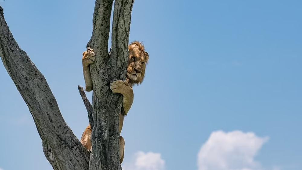 على طريقة «فتى الأدغال».. أسد يتسلق شجرة هرباً من قطيع الجاموس